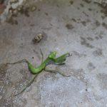 緑のカマキリが茶色のカマキリになっていた!