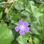 今年はツルニチニチソウの花が咲くのが早い