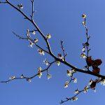 花だけでなく枯れ葉も!マンサクの観察ポイント