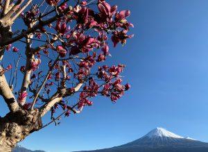 モクレンと富士山の写真