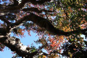 初秋のモミジの写真