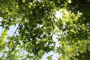 初夏のモミジの写真