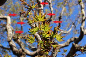 モミジの新芽の拡大の写真