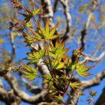 新緑なのに葉っぱのふちが赤い!モミジの観察ポイント