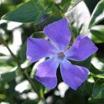 花びらが左右対称じゃない!ツルニチニチソウの観察ポイント