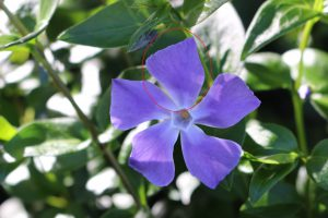 ツルニチニチソウの花びら
