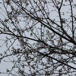 桜が咲き始めましました