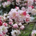 オリオン座のベテルギウスのことを考える!源平枝垂れ桃の観賞ポイント