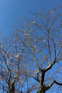 庭のソメイヨシノの写真