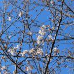 サクラ(ソメイヨシノ)が咲き始めました!