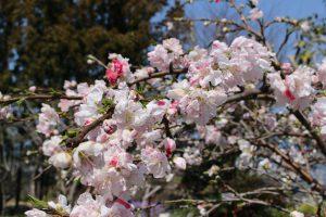 源平枝垂れ桃の写真