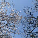 桜が満開になり、梅に実がつき始めました