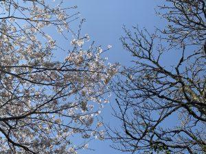 桜の花と梅の実