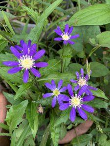 ミヤコワスレ 濃い紫の写真
