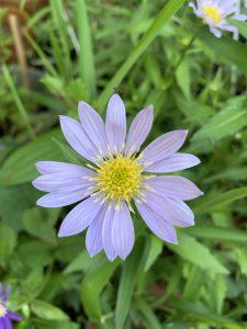ミヤコワスレ 薄い紫の写真