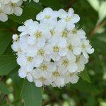 実は小さな花の集合!コデマリが咲きました