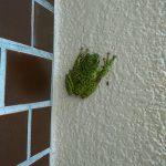 ひょっとしてモリアオガエル!?庭に謎のカエルが出没