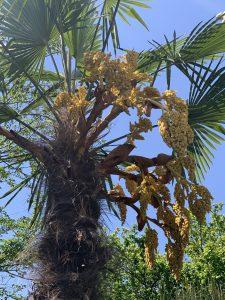 シュロの木の写真