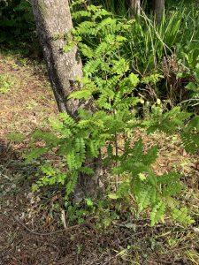 サンショウの木の写真