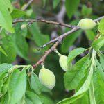 源平枝垂れ桃の実がなる!鬼門除けの桃の木