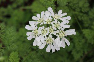 オルレアの花