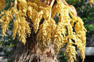 シュロの花の写真