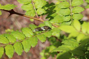 サンショウの葉の上のアゲハチョウの幼虫の写真