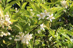 柑橘の花の写真