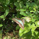 アオスジアゲハが庭にやってきました!