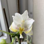 マイクロ胡蝶蘭の花が再び咲きました!