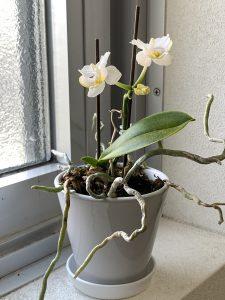 マイクロ胡蝶蘭の写真