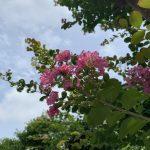 サルスベリの花が咲きました!