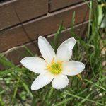 梅雨の晴れ間にゼフィランサス(レインリリー)が咲きました!
