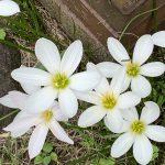 ゼフィランサスの花が咲きました!