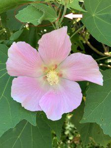 フヨウの花とフタトガリコヤガ
