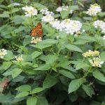10月は庭が静かで蝶の観賞に向いています。