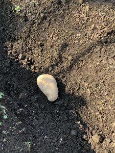 メークインの種イモの写真