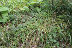 雑草に埋もれるつくしの写真