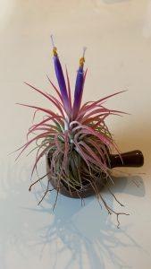 ティランジア(イオナンタ)の花の写真