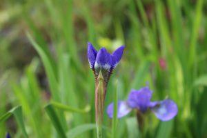 開きかけたアヤメの花の写真